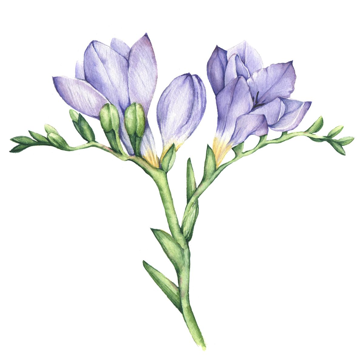 Freesia Flowers On Behance Watercolor Flowers Paintings Flower Drawing Freesia Flowers