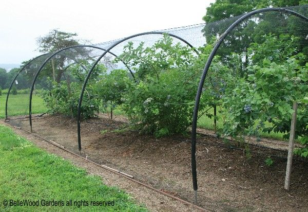 Bellewood Gardens Diary Blueberry Bird Protection Garden