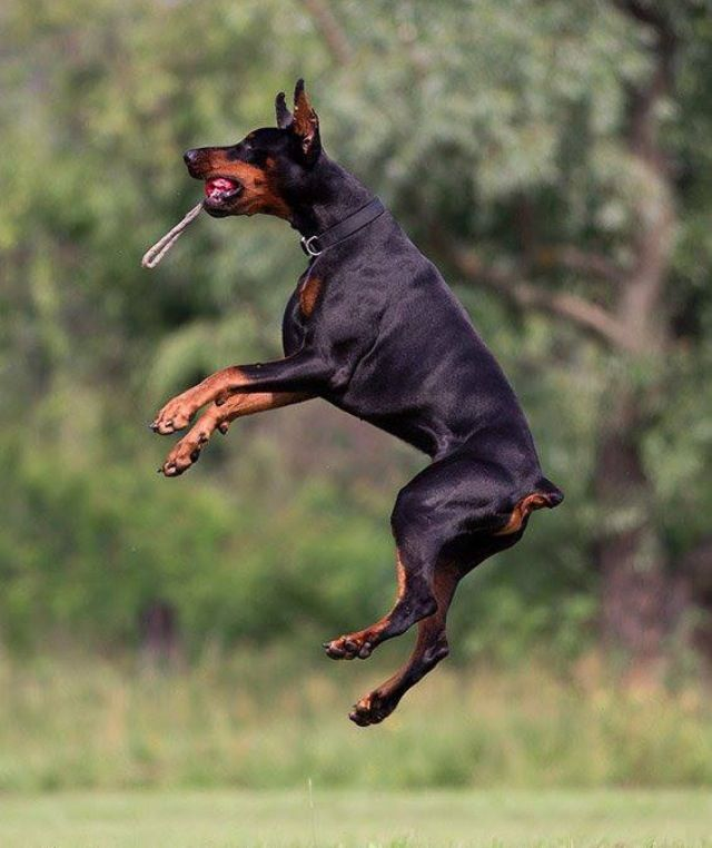 Flexible Doberman Dog Doberman Dogs Doberman Doberman Pinscher