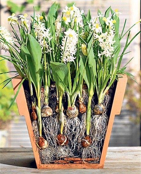 Telegraph gardenshop buy spring bulbs spring bulbs for Spring bulb garden designs