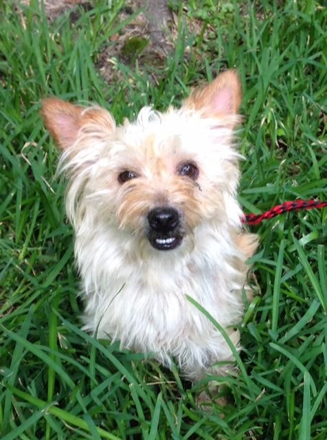 Adopt Susie On Cairn Terrier Terrier Dogs Dogs