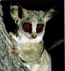 Image of: Spotted Cats Nocturnal African Animals Baby Nocturnal Insect Hunter The Bigeyed Bush Baby Rarely Leaves The Pinterest Nocturnal African Animals Baby Nocturnal Insect Hunter The Big