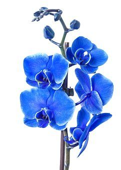Phalaenopsis Orchid Colored Blue Blue Orchid Flower Blue Orchids Orchid Flower