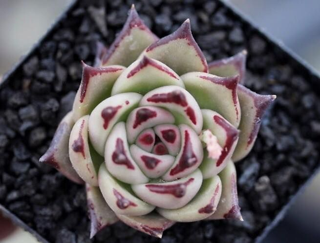 Echeveria 'Rose Garnet Black'  黒石榴玫瑰