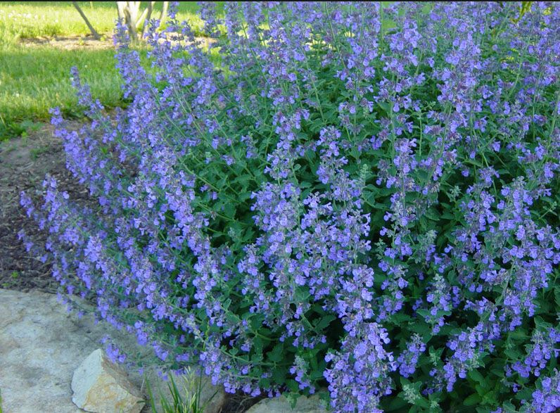 Nepeta faassenii Cat Mint Mint family repellent with