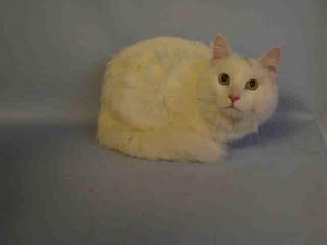 Snow A1060349 Cat Adoption Kitten Adoption Pets