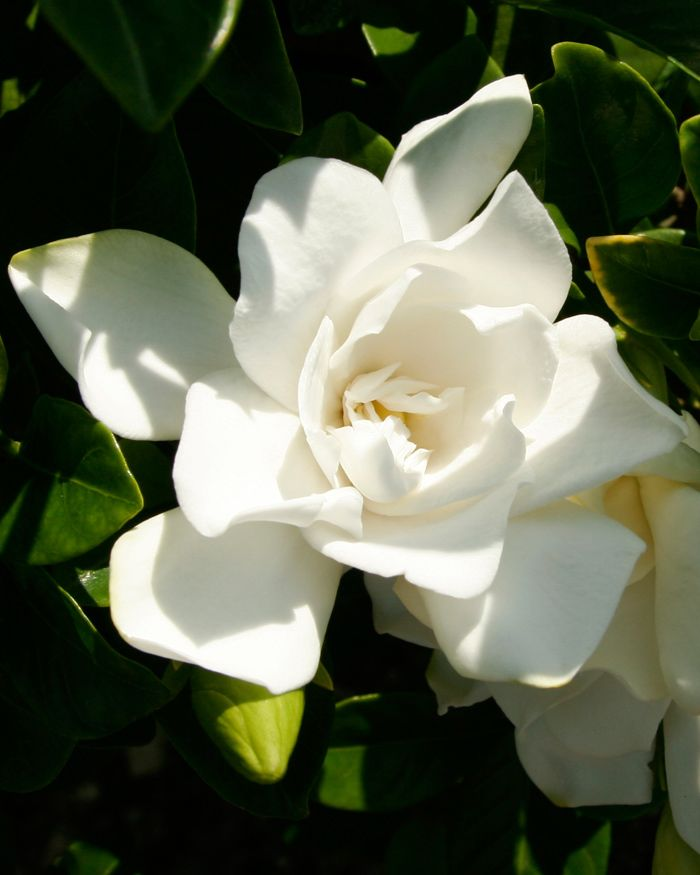 Jubilation Gardenia A Charming Improvement On A Southern Favorite Jubilation Grows Southern Living Plants Southern Living Plant Collection Flowering Shrubs