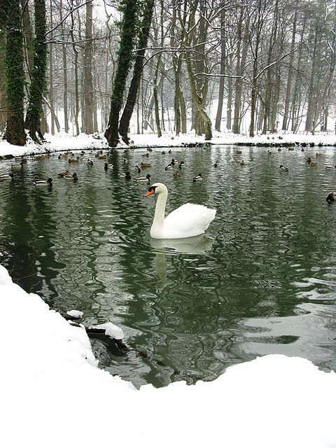 Winter Swan Lake - snow surrounded cold waters with peaceful birds of a different feather: graceful swimming Swan and ducks. Love Christmas season pin via Cora Lee Robinson.                                                                                                                                                      More