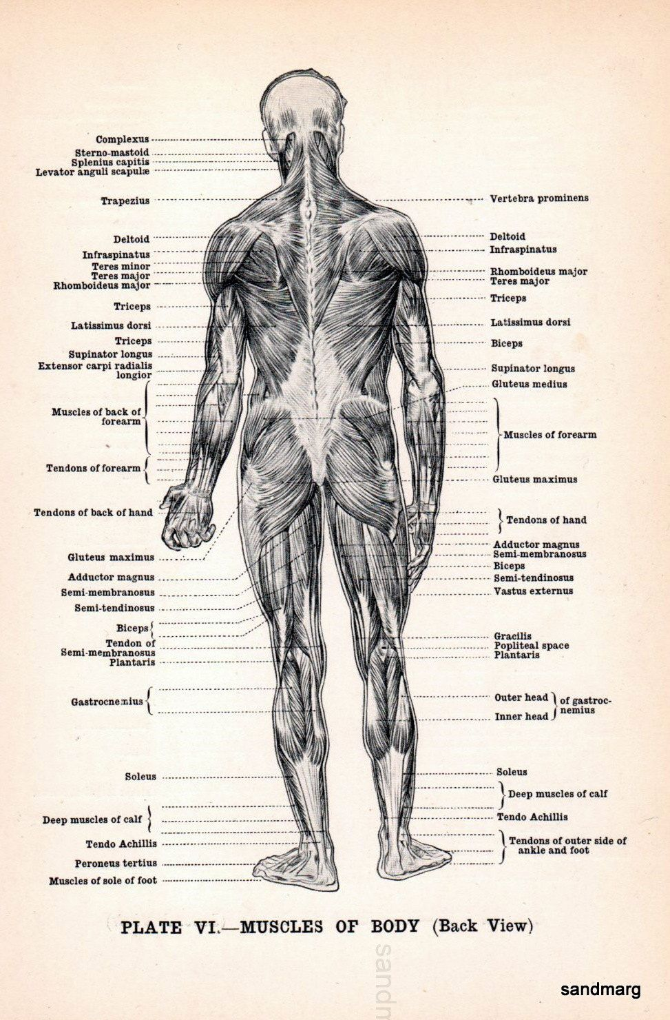 Human Anatomy Figure Of Male Muscles Vintage Clipart Pinterest