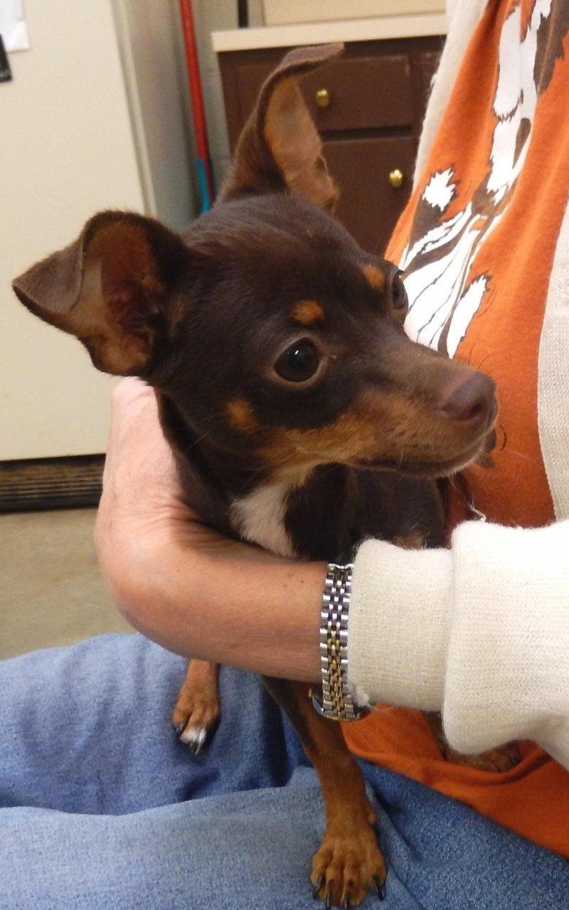 Adopt Karma On Chihuahuas For Adoption Adoption Pet Adoption