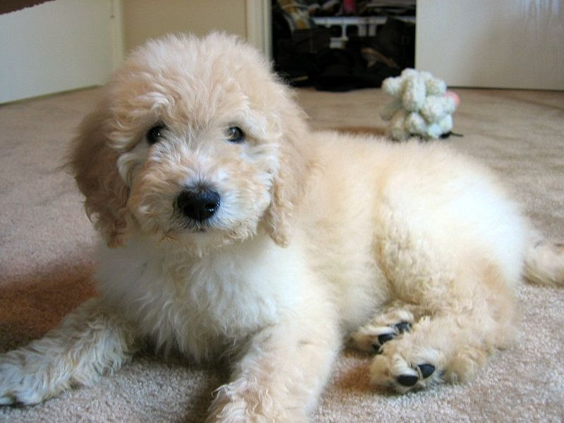 Favorite Poodle Mix Dogs Slideshow Goldendoodle Puppy