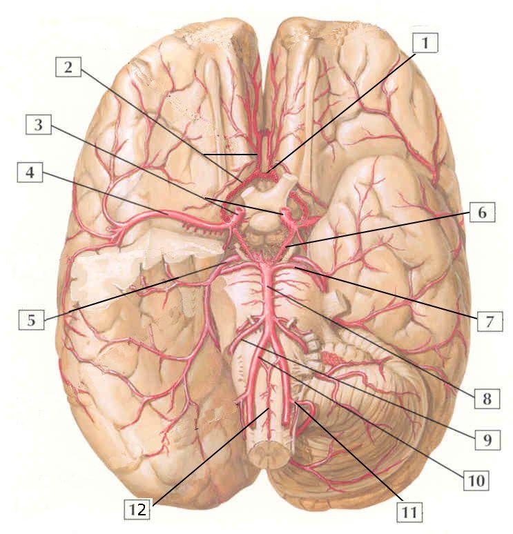 arteries of the brain quiz | Gross anatomy, Anatomy ...