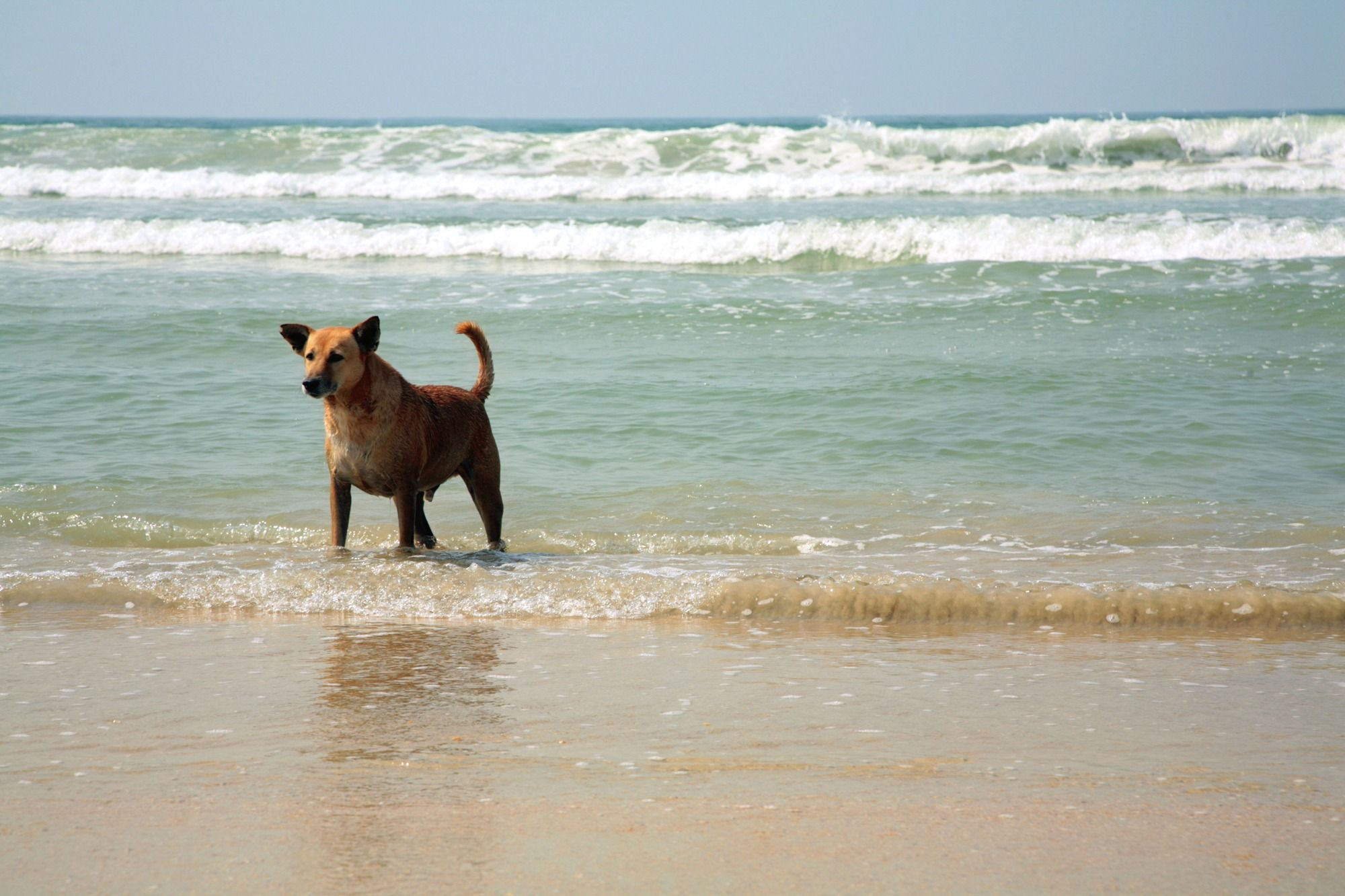 Dog Playing In The Surf A Friendly Beach Florida
