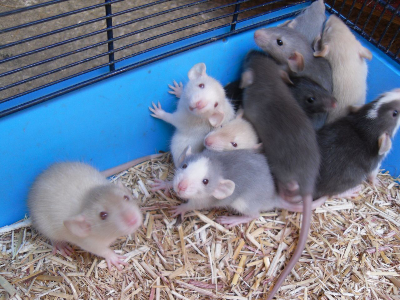 Pin by Raven Nyx MjW on Adorable Pet Rats Dumbo rat, Pet