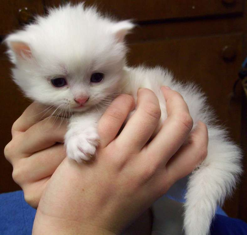 dailydoseofcute White Ragdoll Kitten this little guy is