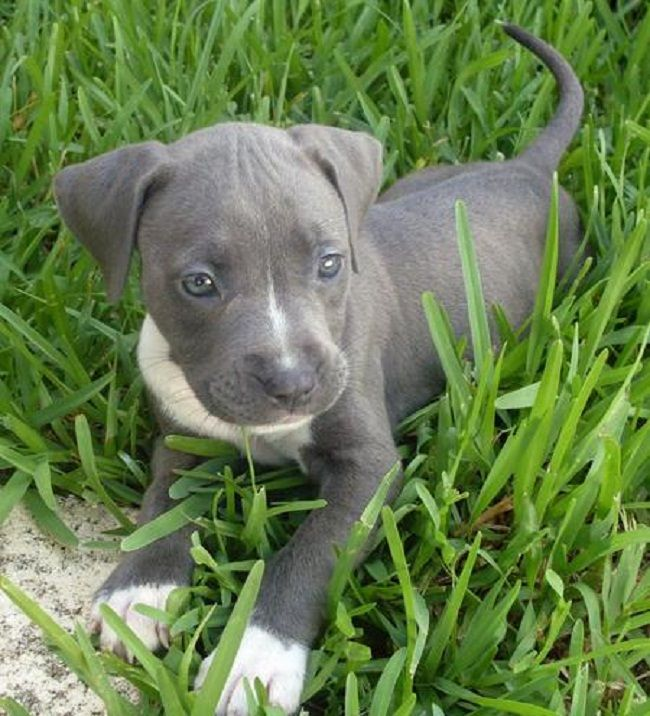 photo of a grey pitbull dog | Water Sky | animal ...