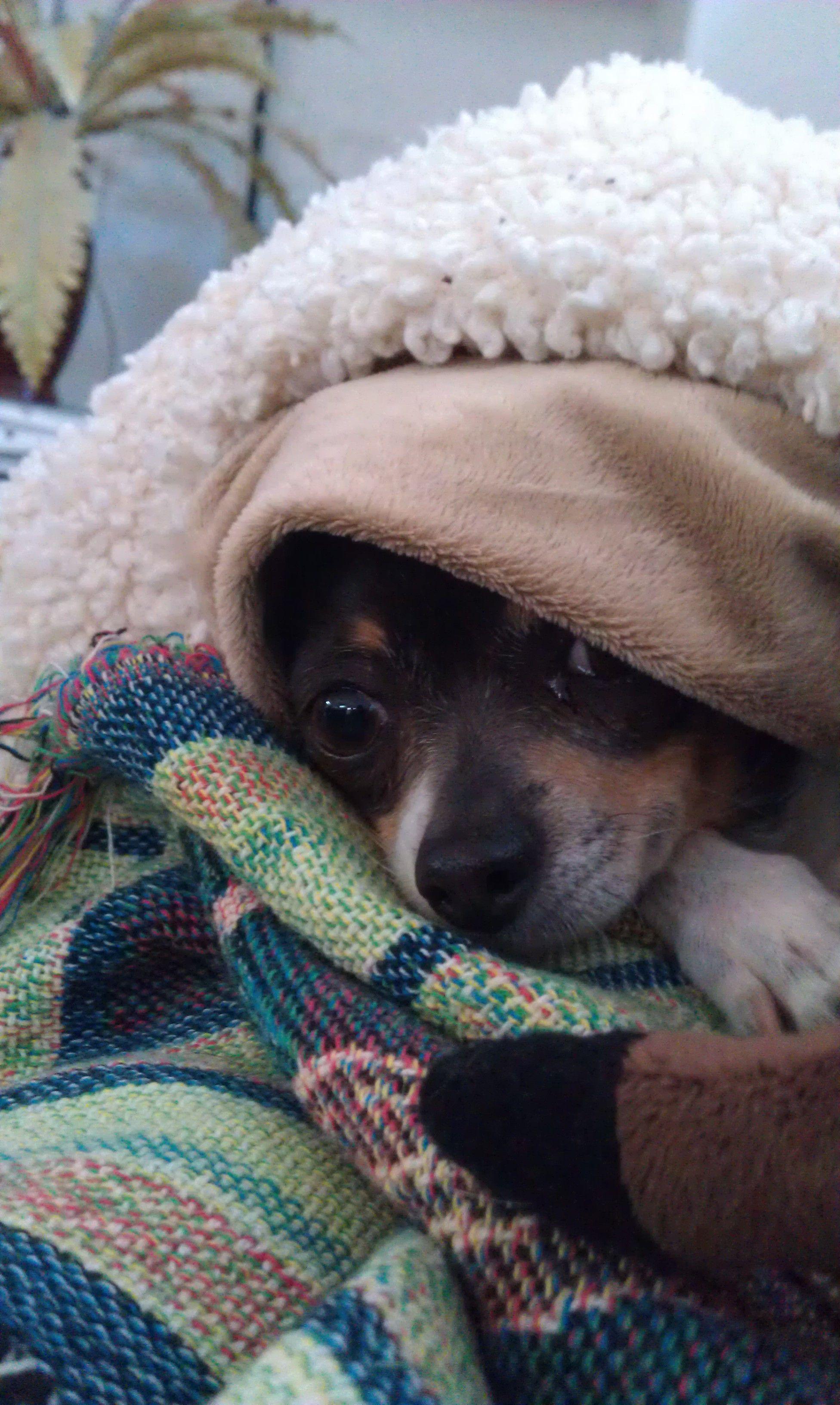 Zippy the Chihuahua