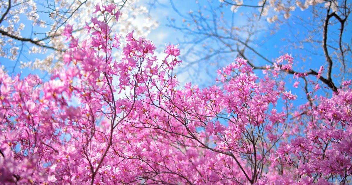 Papel De Parede Primavera Flores Rosas Com Imagens Campo De