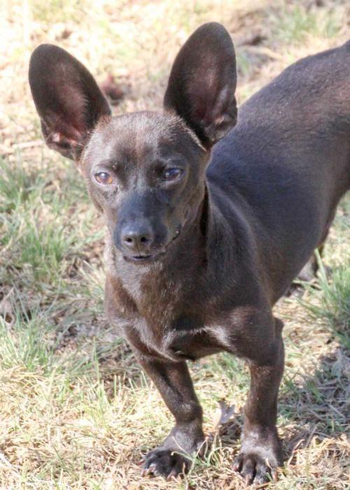 Chiweenie dog for Adoption in Austin, TX. ADN561428 on