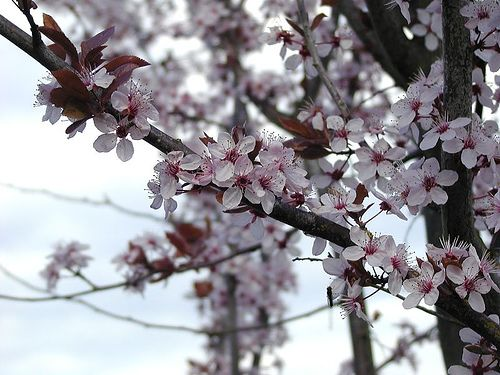 How To Care For A Flowering Plum Tree Flowering Plum Tree Plum Tree Care Plum Tree