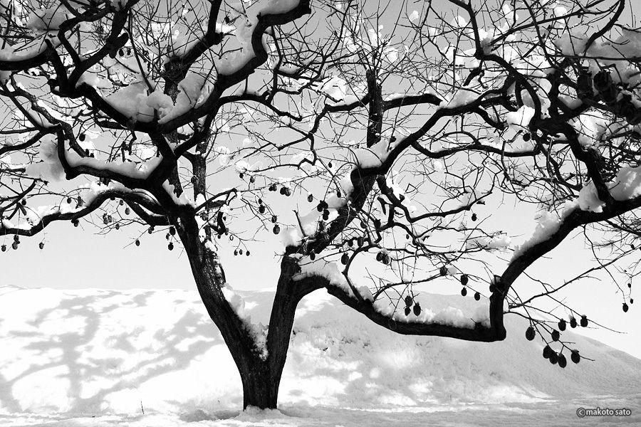 Tree of KAKI of winter
