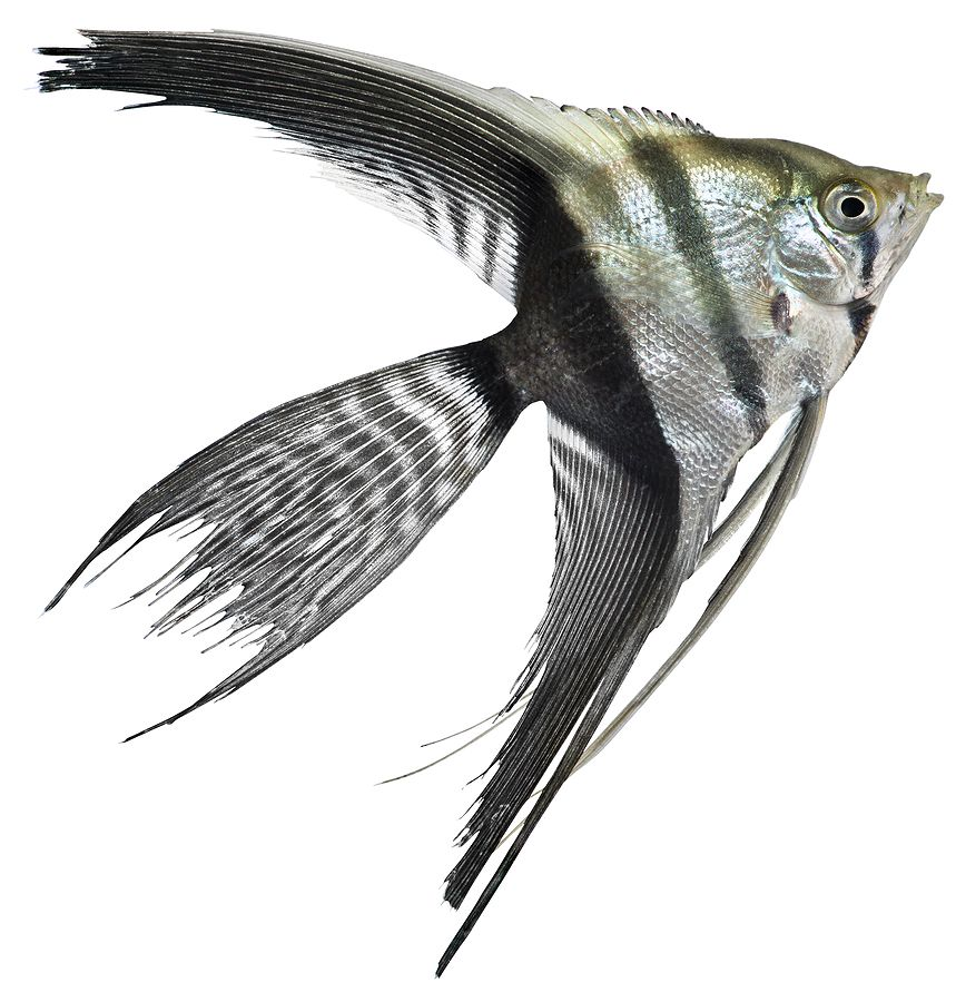 Half Black Veil Angelfish   Tropical Fish   Angel fish ...