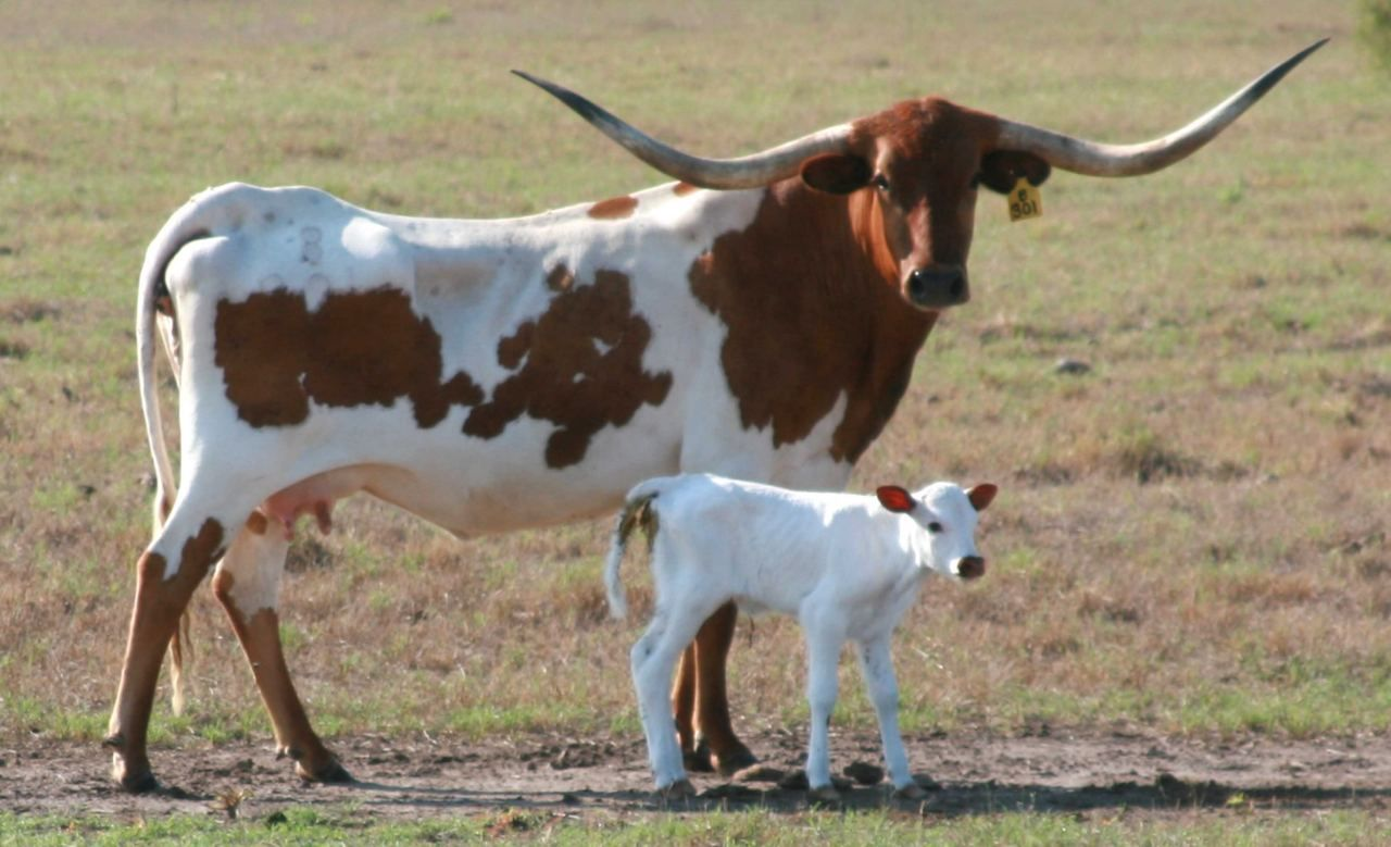A Texas Longhorn First Brought Up From Mexico On Cattle Drives