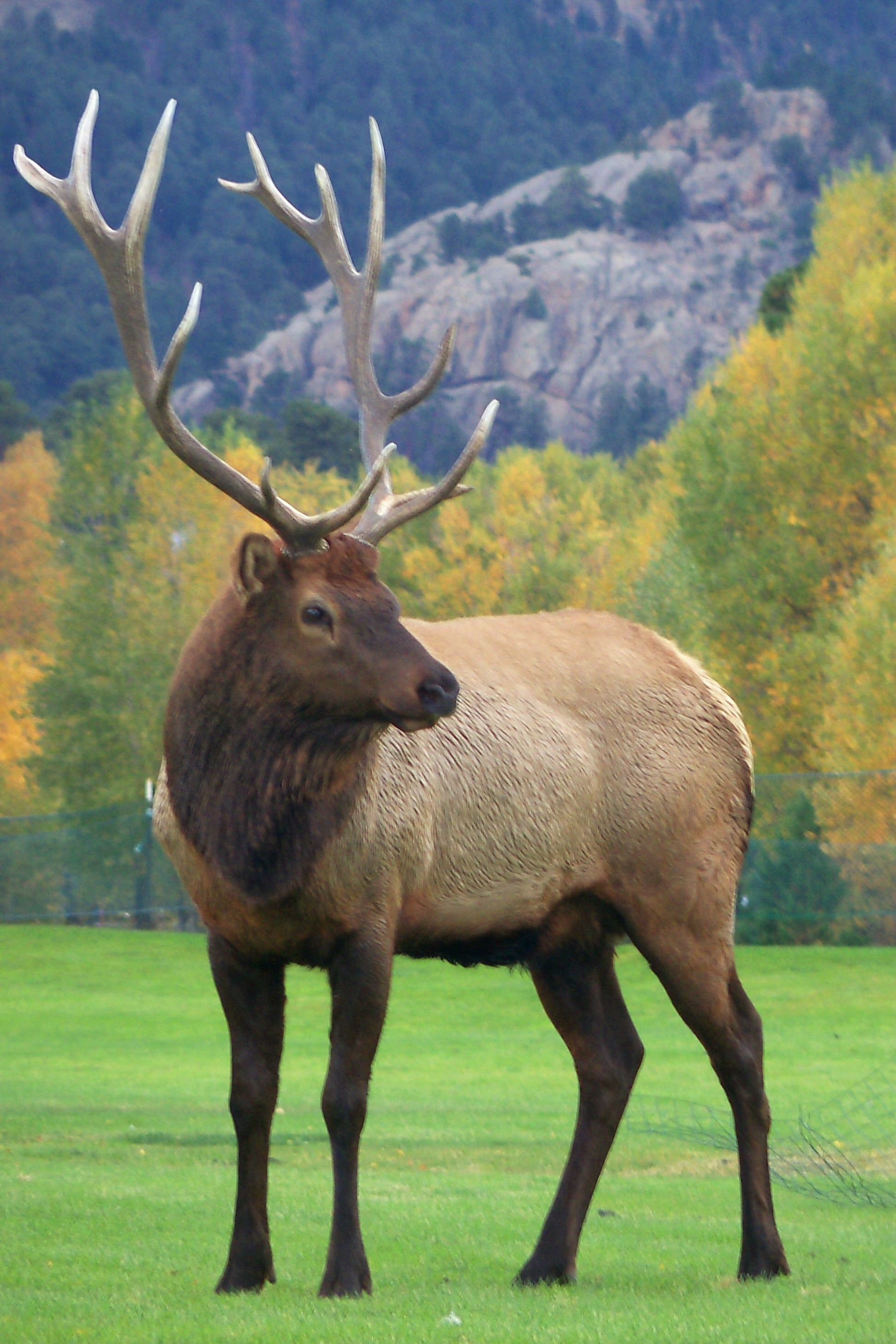 Elk~In Estes Park | Wildlife in Colorado/ Animais silvestres