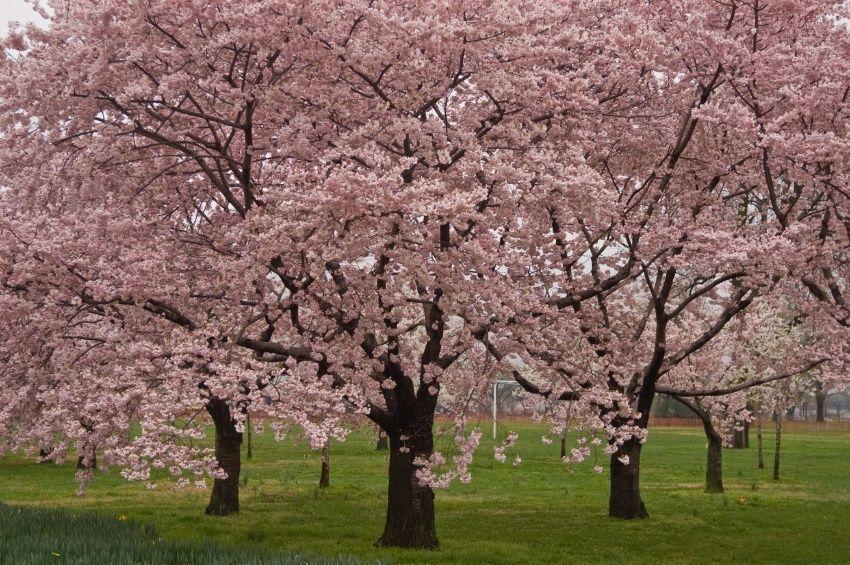 Okame Cherry Blossom Tree Planting Cherry Trees Cherry Blossom Tree Cherry Trees Garden
