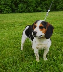 Adopt Barney Mcruff On Adoptable Dogs Beagle Dog Adoptable