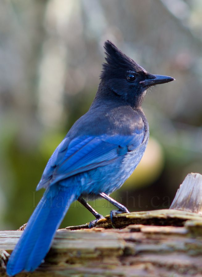 Image result for stellar jay