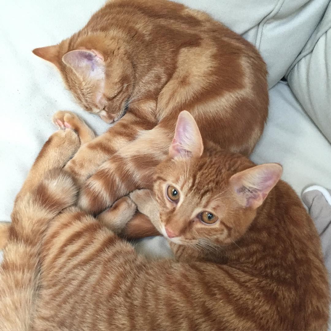 """der dicke """"Pferdinand"""", wie er von uns liebevoll genannt wird, neben seiner kleinen, zarten schwester Frida...  #catsofinstagram #cats #rotetiger #seelensachenkatzen #kuscheltime #cuddling"""
