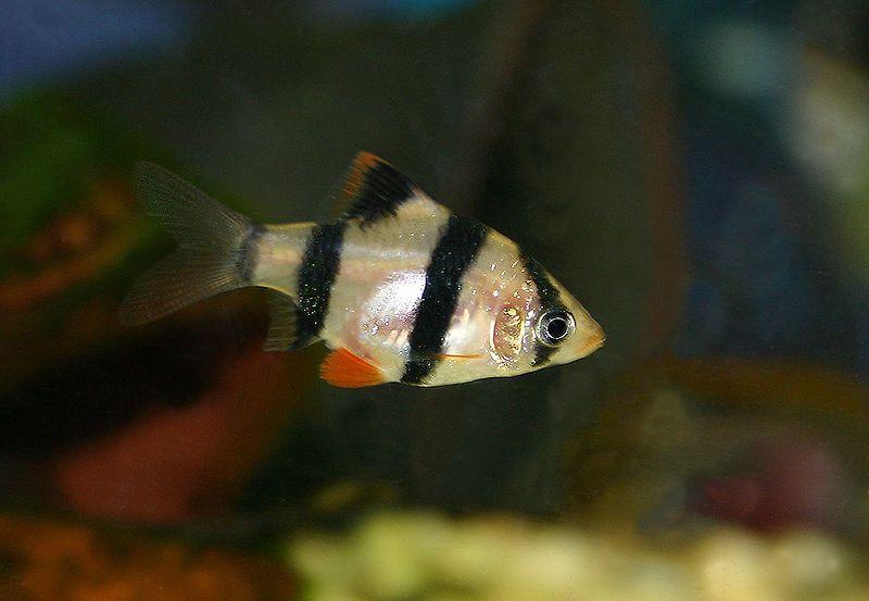 Tiger Barb Freshwater Fish Fish Freshwater Aquarium Fish