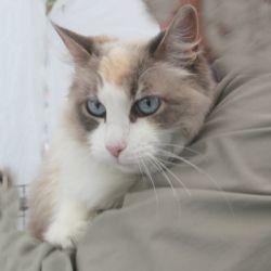 Adopt Blossom On Petfinder Ragdoll Cat Cat Greens My Animal