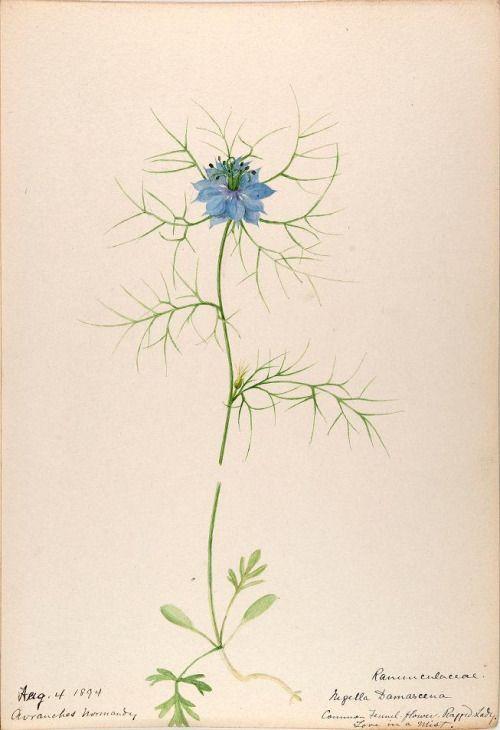 Heaveninawildflower Botanical Drawings Botanical Illustration Vintage Nigella