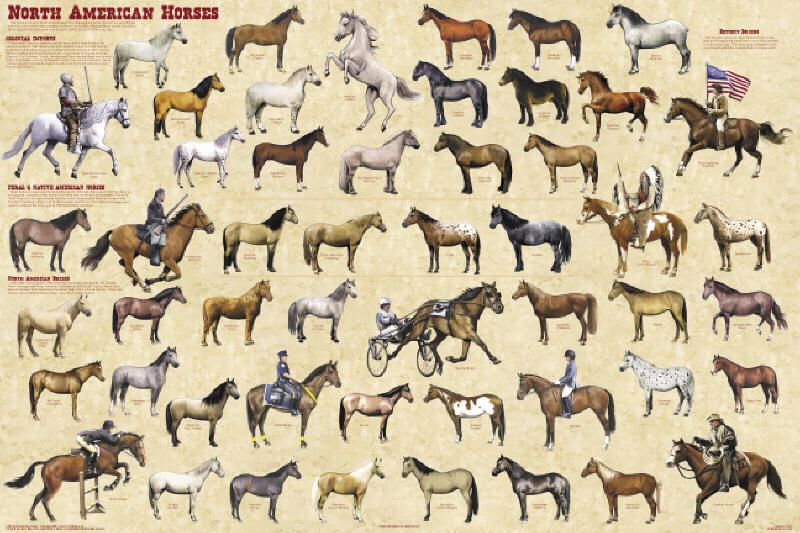 Basic North American Horse Breeds Chart