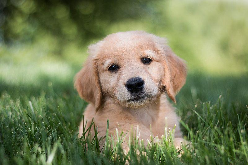 Meet Charlie Golden Retriever Puppy Wallpaper Dog Wallpaper Baby and dogs hd desktop wallpapers