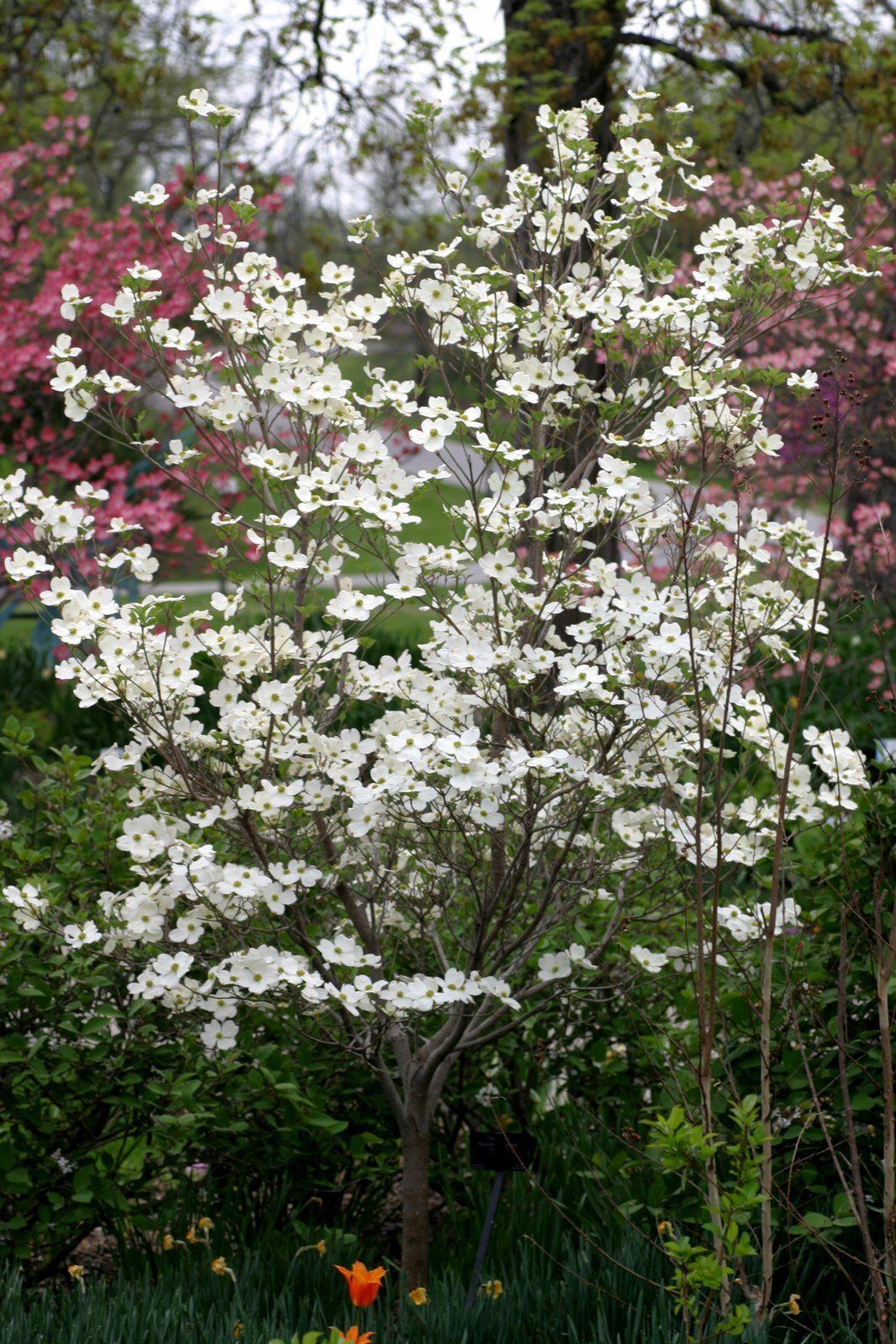 'Cloud Nine' flowering dogwood (Cornus florida) COR115g
