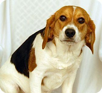 Treeing Walker Couonhound Photo Treeing Walker Coonhound Beagle