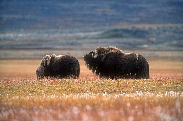 Male Musk Ox Mooing (by Magnus Elander)