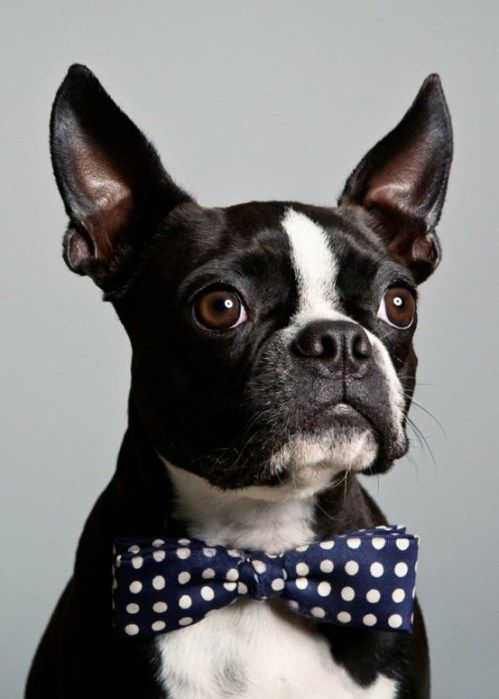 I want a Boston. And he will wear a bow tie.