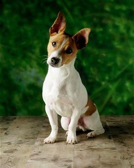 Jack Russell Terrier Personality Jack Russell Terrier Personality