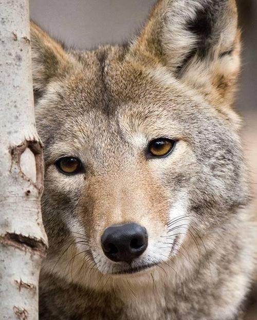 Canadian Grey Wolf,