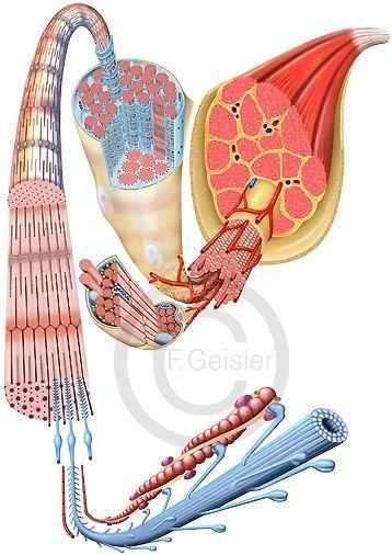 Histologie Muskel mit Muskelfasern und Sarkomer Mehr | Anatomy ...