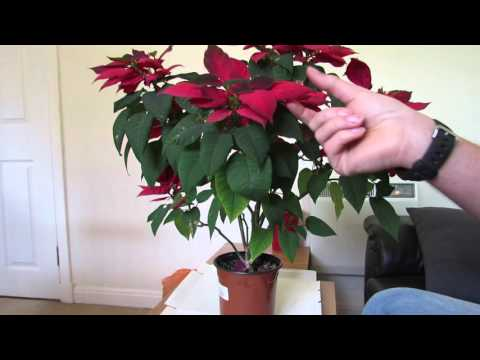 Poinsettia Care After Flowering Youtube Poinsettia Plant Poinsettia Care Poinsettia