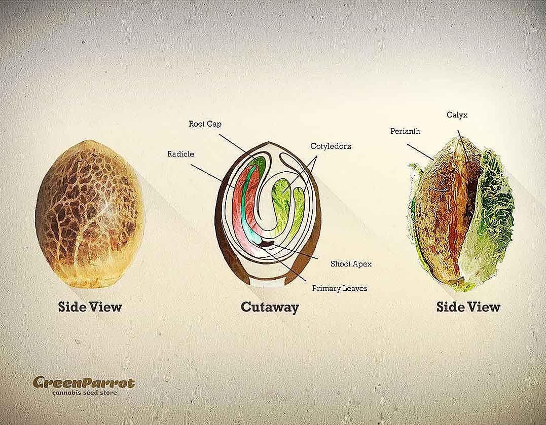 semilla | Cannabis
