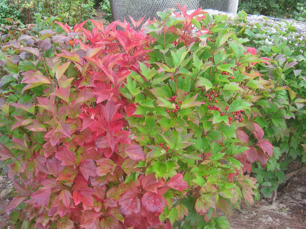 Planting A Viburnum Hedge Tips On Creating A Viburnum Hedge In