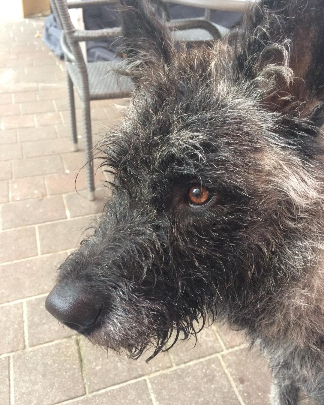 #Duke #Hollandseherder #Herder #dogs #dog #cute #welpe #11month #der_dukie  #holländischerschäferhund #dogsofinstagramsg #dogsofinstagram #workingdog #dutchshepard #friends #dogtraining #Hollandseherder #herdershond #doglife #dogs #meinkleinerwolf#usedom