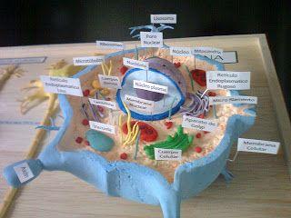Maquetas Y Arte Mayo 2013 Maquetas De Celulas Célula Animal Eucariota