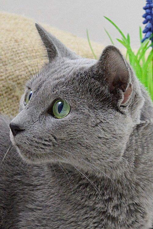 Kot Rosyjski Niebieski Oddyseus Russian Blue Cat Russian Blue